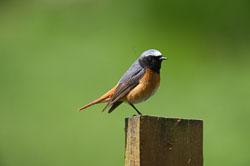 Redstart (Phoenicurus phoenicurus), Wales