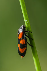 Red and Black Froghopper (Cercopis vulnerata)