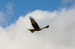 Red Kite (Milvus milvus) in Wales