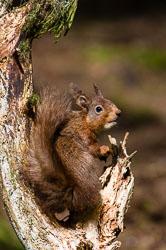 Red Squirrel (Sciurus vulgaris) in Yorkshire Dales