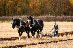Horse and Plough at Sherwood Ploughing Match, Budby, Notinghamshire, November 2017. Photo: Neil Houltby
