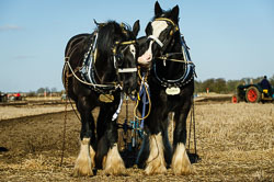 Horse and Plough at Collingham Ploughing Match, Swinderby, Lincolnshire, February 2018. Photo: Neil Houltby