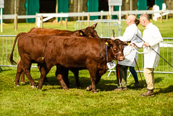 Lincoln Red at Lincolnshire Show, Lincolnshire Showground, Lincolnshire, June 2018. Photo: Neil Houltby