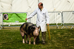 Pig at Lincolnshire Show, Lincolnshire Showground, Lincolnshire, June 2018. Photo: Neil Houltby