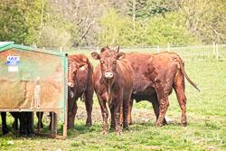 Lincoln Red at Riseholme Farm, Riseholme Farm, Lincolnshire, April 2019. Photo: Neil Houltby