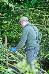 Hedge Laying at Flintham and District Ploughing Match, Scarrington, Nottinghamshire, September 2019. Photo: Neil Houltby