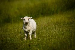 Welsh Mountain Sheep at , Rhydymain, Gwynedd, June 2018. Photo: Neil Houltby