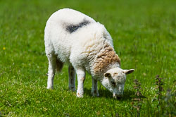 Welsh Mountain Sheep in Wales
