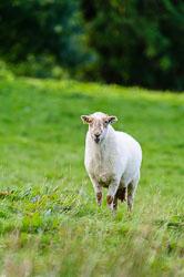 Welsh Mountain Sheep, Wales