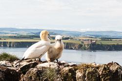 Gannet (morus bassanus), Bass Rock