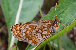 Marsh Fritillary Buterfly (Euphydras aurinia)