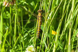 Black Tailed Dragonfly (Orthetrum cancellatum)