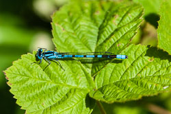 Common Blue Damselfy (Enallagma cyathigerum)