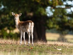 Fallow Deer (Dama dama) at Bradgate Park, Leicestershire
