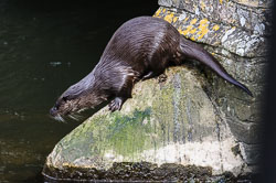 Otter (Lutra lutra), Norfolk