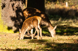 Red Deer (Cervus elaphus)  at Bradgate Park, Leicestershire