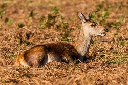 Red Deer (Cervus elaphus)  at Bradgate Park, Leicestershire
