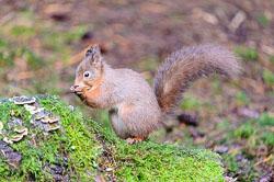 Red Squirrel (Sciurus vulgaris), Woodlands, Hawes, Yorkshire