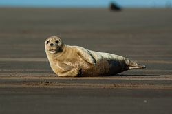 Grey Seal at Donna Nook, Lincolnshire